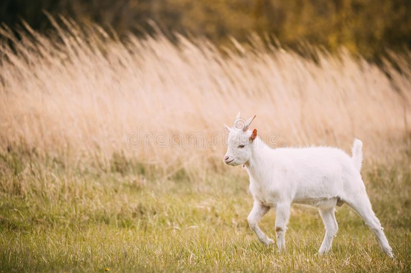 Kid Goat Grazes In Spring Grass. Farm Baby Animals royalty free stock image