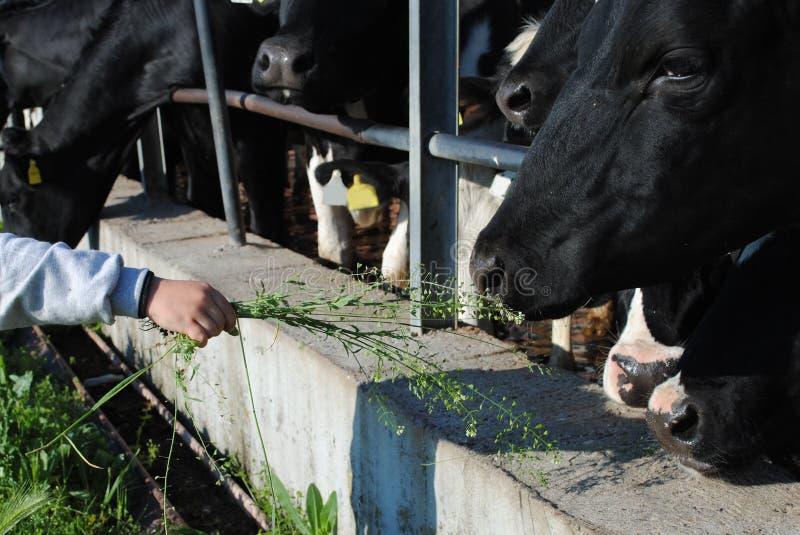 Kid hand feed a cow