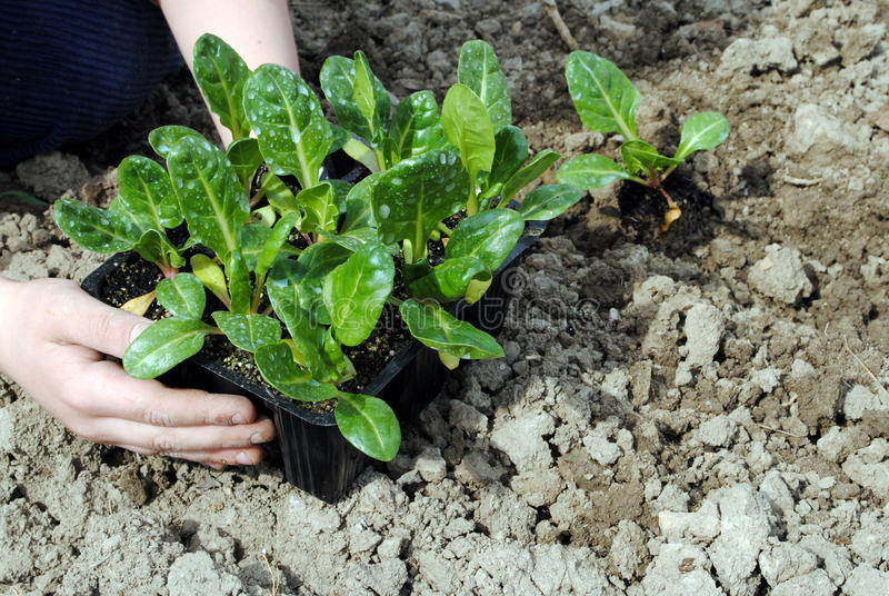 Kid hands with seedlings stock photos