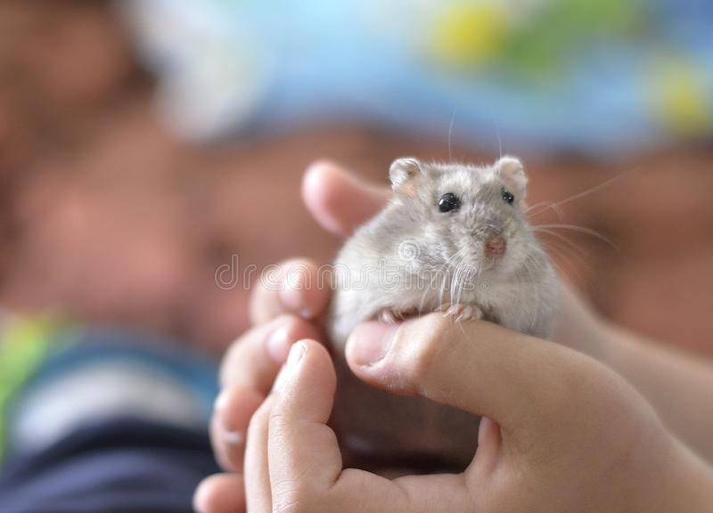 Kid holding a cute grey hamster, children and pets stock photography