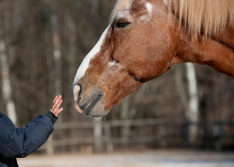 Kid and horse. Kid hand caressing horse close up royalty free stock images