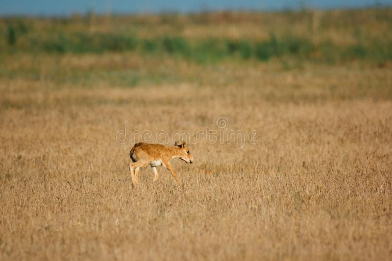 Kid Saiga tatarica is listed in the Red Book. Chyornye Zemli Black Lands Nature Reserve, Kalmykia region, Russia stock photography