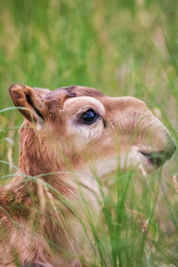Kid Saiga tatarica is listed in the Red Book. Chyornye Zemli Black Lands Nature Reserve, Kalmykia region, Russia stock photos