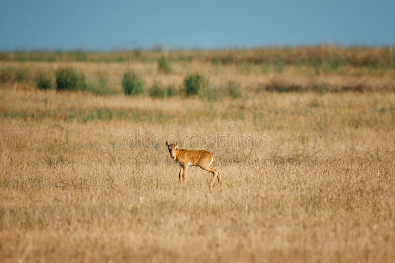 Kid Saiga tatarica is listed in the Red Book. Chyornye Zemli Black Lands Nature Reserve, Kalmykia region, Russia royalty free stock photo