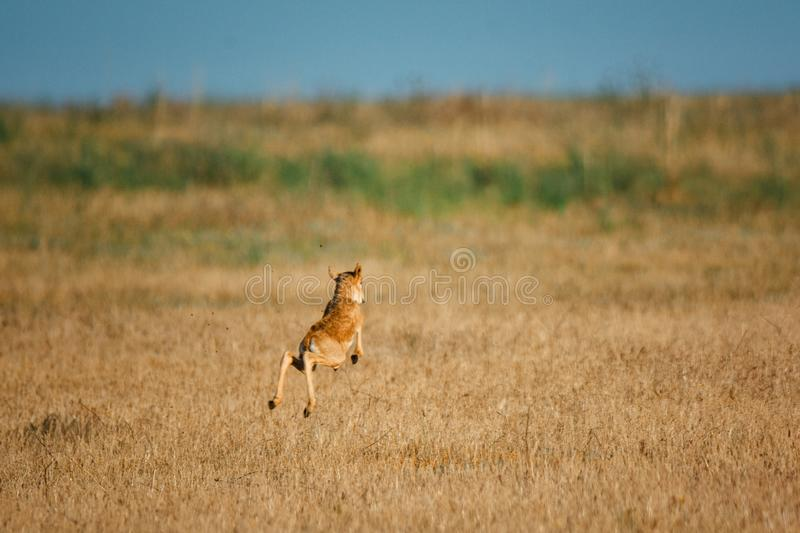 Kid Saiga tatarica is listed in the Red Book. Chyornye Zemli Black Lands Nature Reserve, Kalmykia region, Russia royalty free stock photos