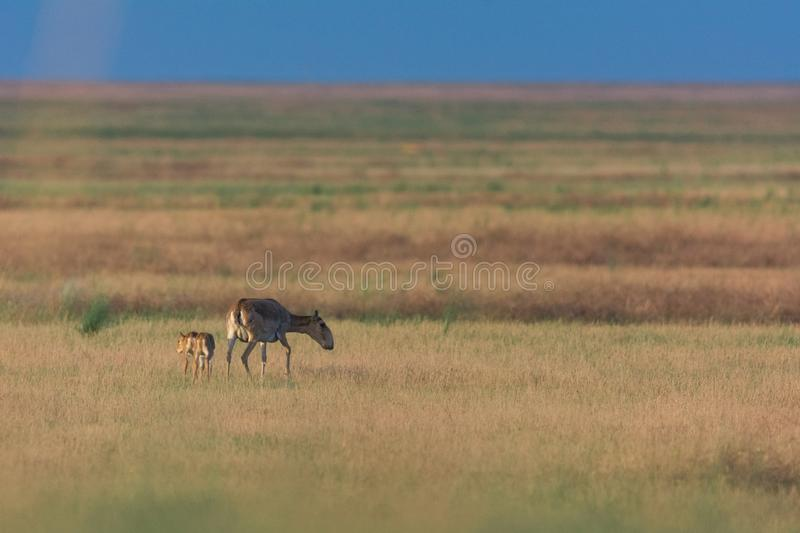 Kid Saiga tatarica is listed in the Red Book. Chyornye Zemli Black Lands Nature Reserve, Kalmykia region, Russia stock images