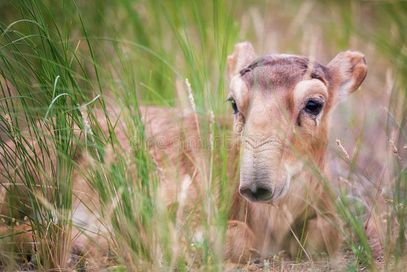 Kid Saiga tatarica is listed in the Red Book. Chyornye Zemli Black Lands Nature Reserve, Kalmykia region, Russia royalty free stock image