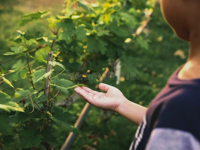 Kid touching leaves of grapevine royalty free stock image