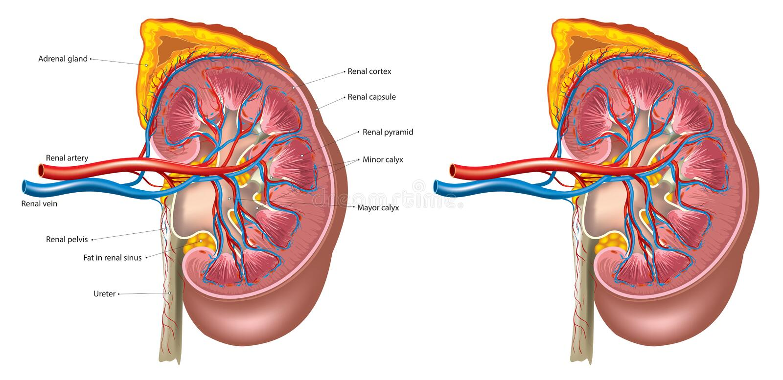 Kidney anatomy stock illustration
