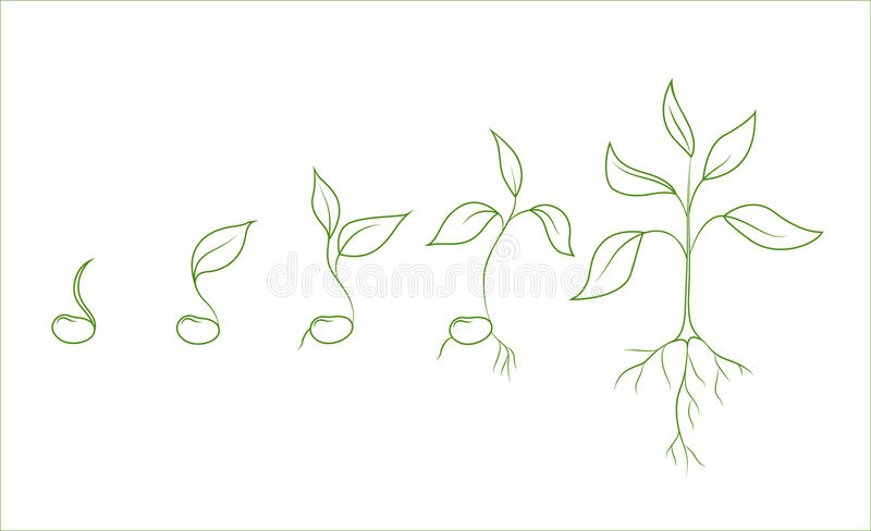 Kidney bean plant growth phases vector illustration