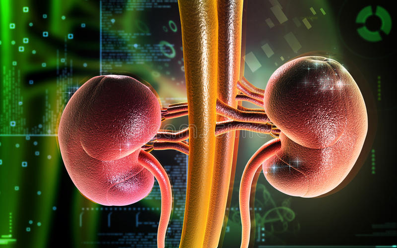 Kidney vector illustration