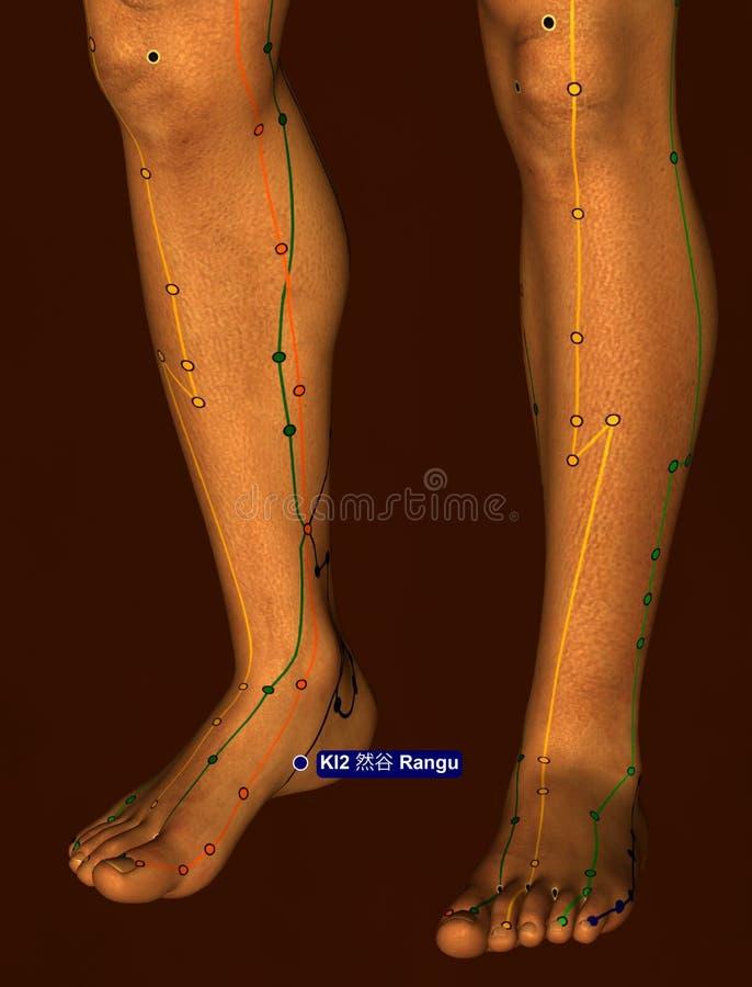 Acupuncture Point KI2 Rangu, 3D Illustration, Brown Background stock photos