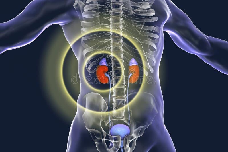 Kidney pathology treatment and prevention concept. 3D illustration royalty free illustration