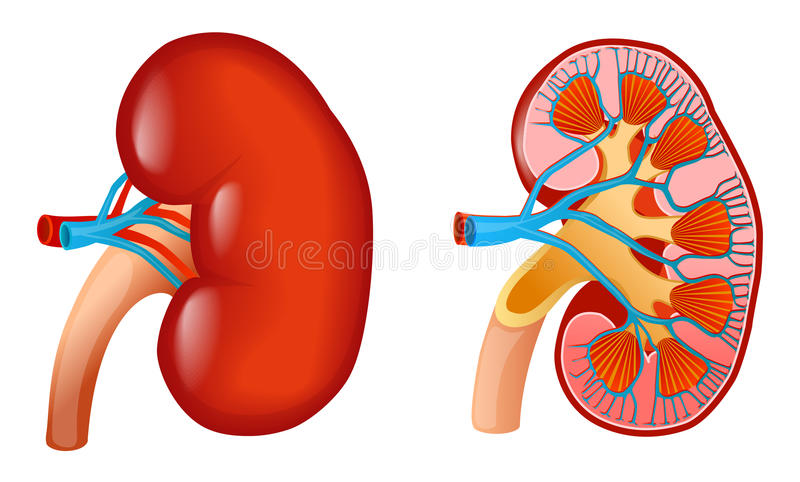 Kidney royalty free illustration