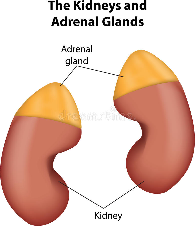 The Kidneys and Adrenal Glands vector illustration
