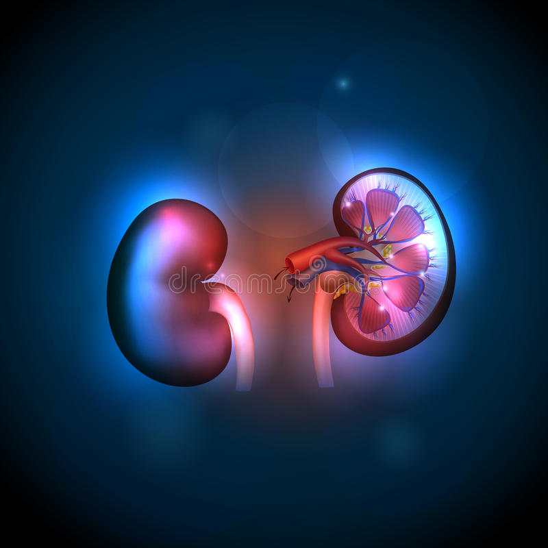 Free Kidneys Anatomy Background Royalty Free Stock Photos - 44881208