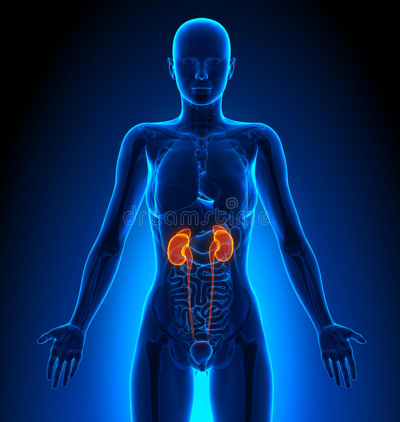 Kidneys Female Organs Human Anatomy Stock Illustration