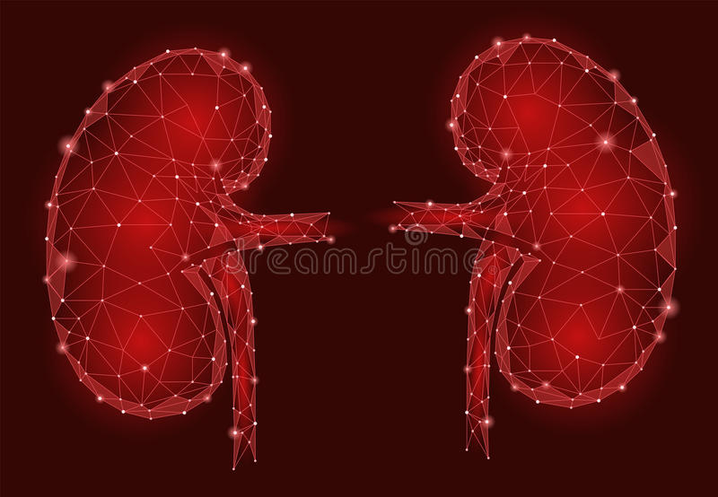Kidneys internal organ men 3d low poly geometric model. Urology system medicine treatment. Future science technology polygonal geometric wire mesh vector vector illustration
