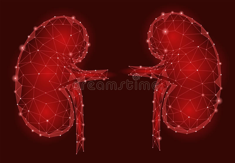 Kidneys internal organ men 3d low poly geometric model. Urology system medicine treatment. Future science technology. Polygonal geometric wire red vector royalty free illustration