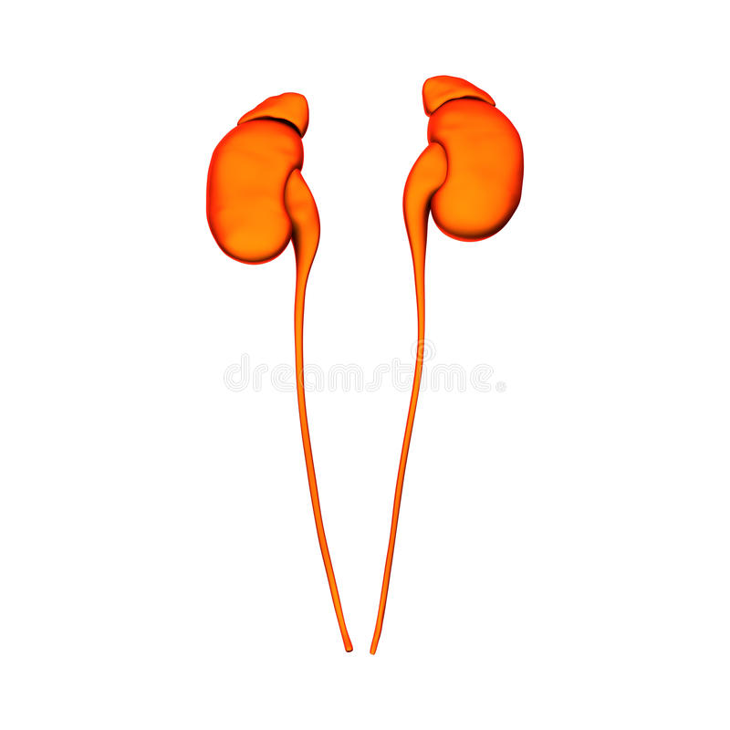 Kidneys - Internal organs - isolated stock illustration