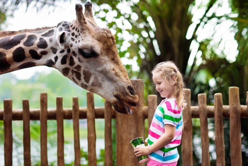 Kids feed giraffe at zoo. Children at safari park. Family feeding giraffe in zoo. Children feed giraffes in tropical safari park during summer vacation in stock image
