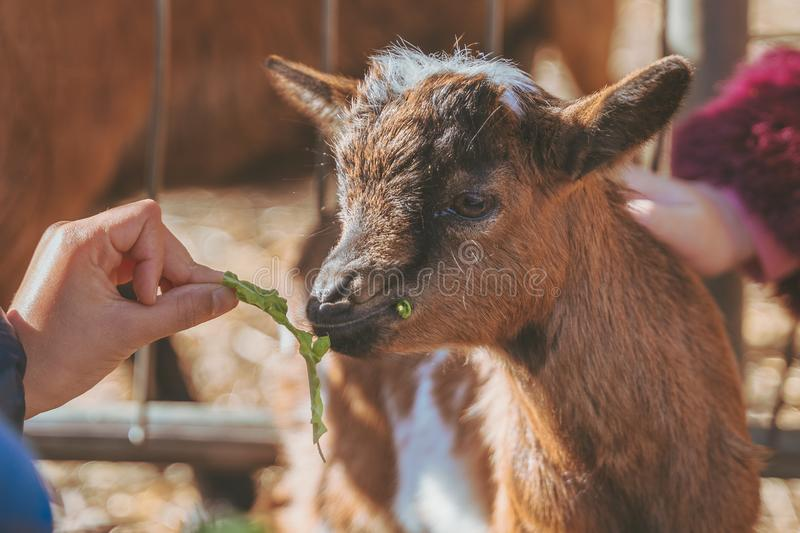 Kids feeding small baby goat by hand with fresh green leaves royalty free stock image
