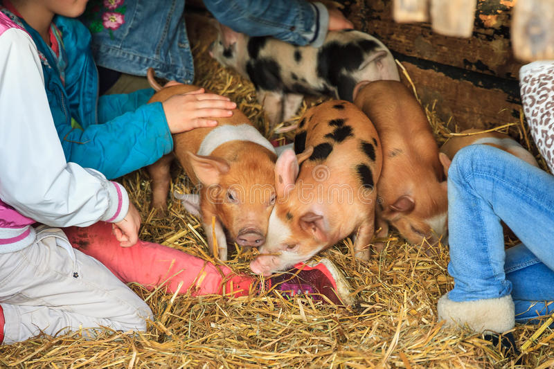 Kids petting piglets stock photography