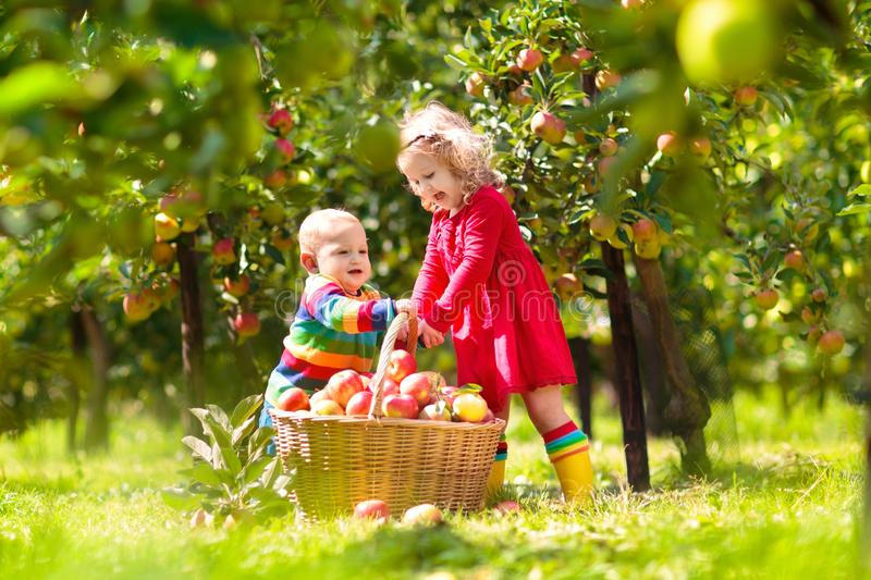 Kids picking apples on farm in autumn. Kids picking ripe red apples from tree in country farm on sunny autumn day. Boy and girl pick fruit in apple orchard. Kid royalty free stock image