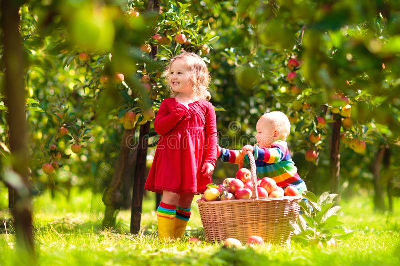 Kids picking apples on farm in autumn. Kids picking ripe red apples from tree in country farm on sunny autumn day. Boy and girl pick fruit in apple orchard. Kid stock images