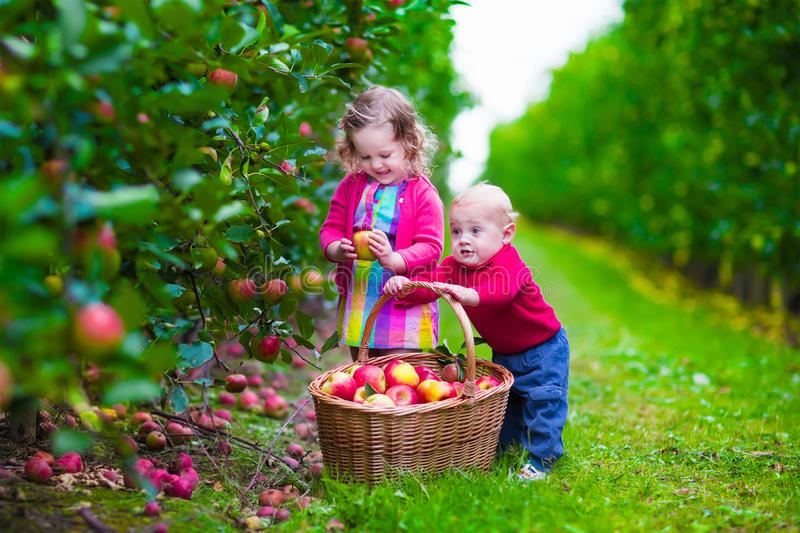 Kids picking fresh apple on a farm. Child picking apples on a farm in autumn. Little girl and boy play in apple tree orchard. Kids pick fruit in a basket royalty free stock photos