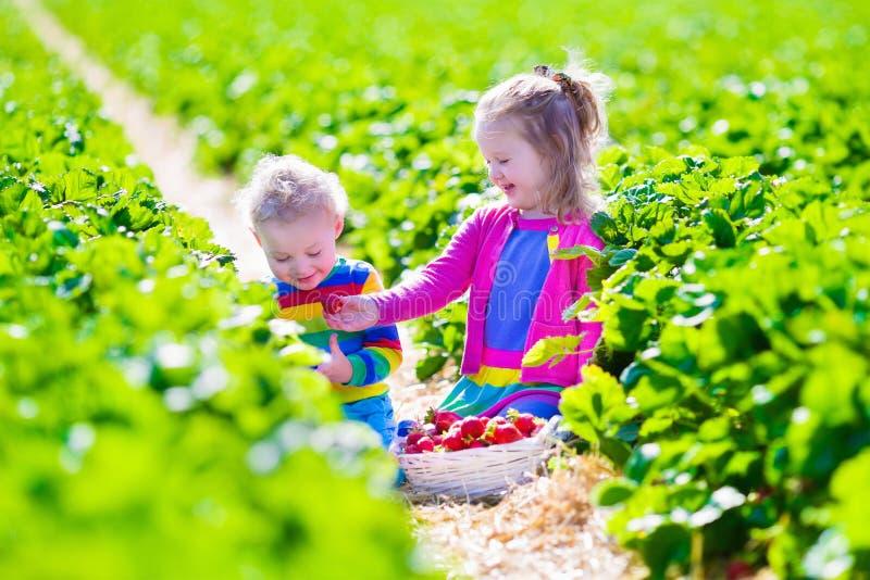 Kids picking fresh strawberry on a farm royalty free stock photo