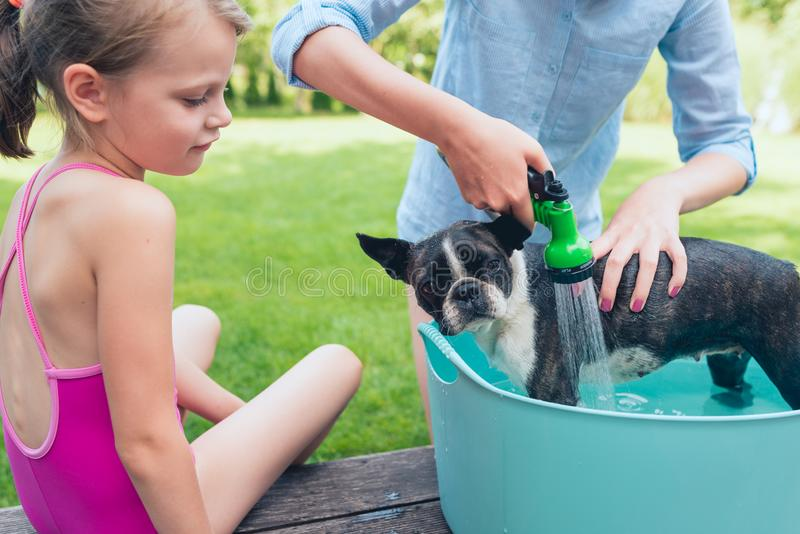 Kids wash boston terrier puppy in blue basin  in summer garden royalty free stock images