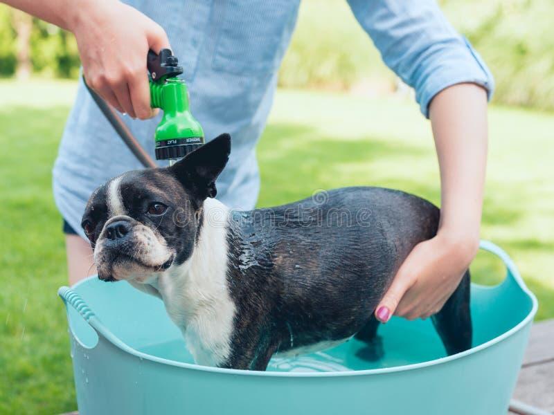 Kids wash boston terrier puppy in blue basin  in summer garden on a terrace stock photo