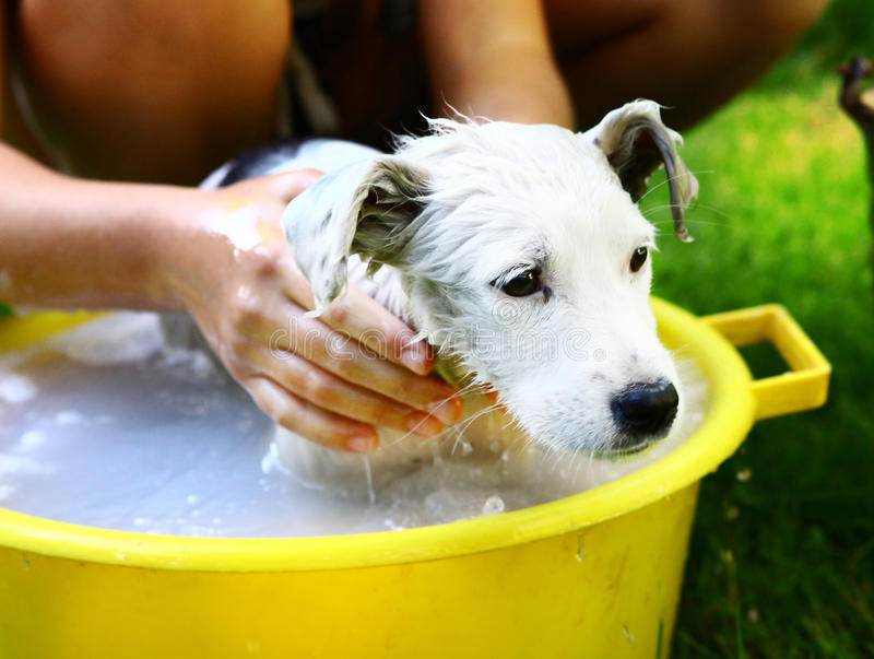 kids wash stray white puppy in yellow basin on the summer garden background royalty free stock image