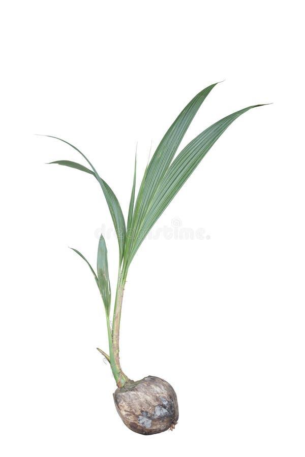 Kiełkowy kokosowy dorośnięcie odizolowywający na białym tle fotografia stock