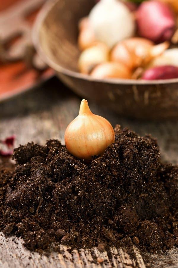 Kiełkować cebuli zdjęcie royalty free