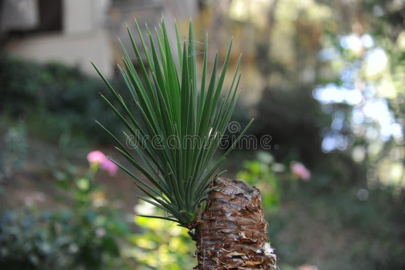 Kiełkowy drzewko palmowe zdjęcie royalty free