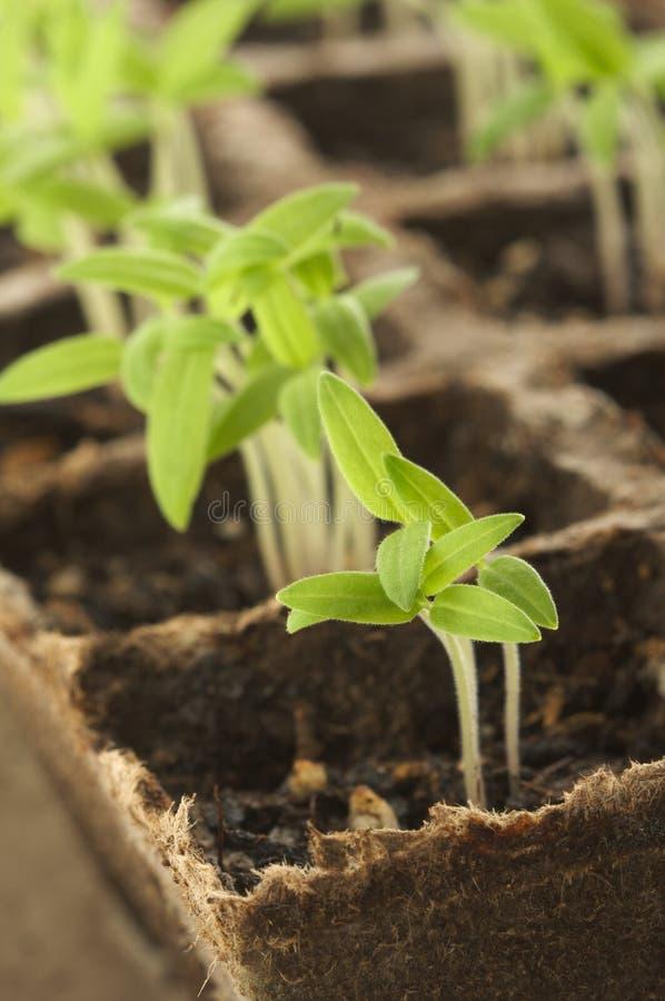 kiełkującej roślin. zdjęcia royalty free