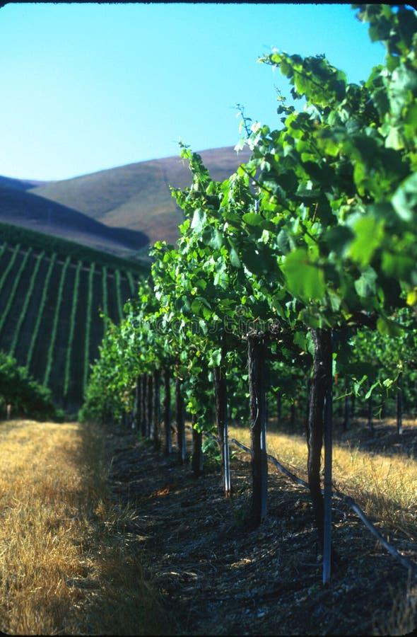 kiedyś winogrona obraz stock