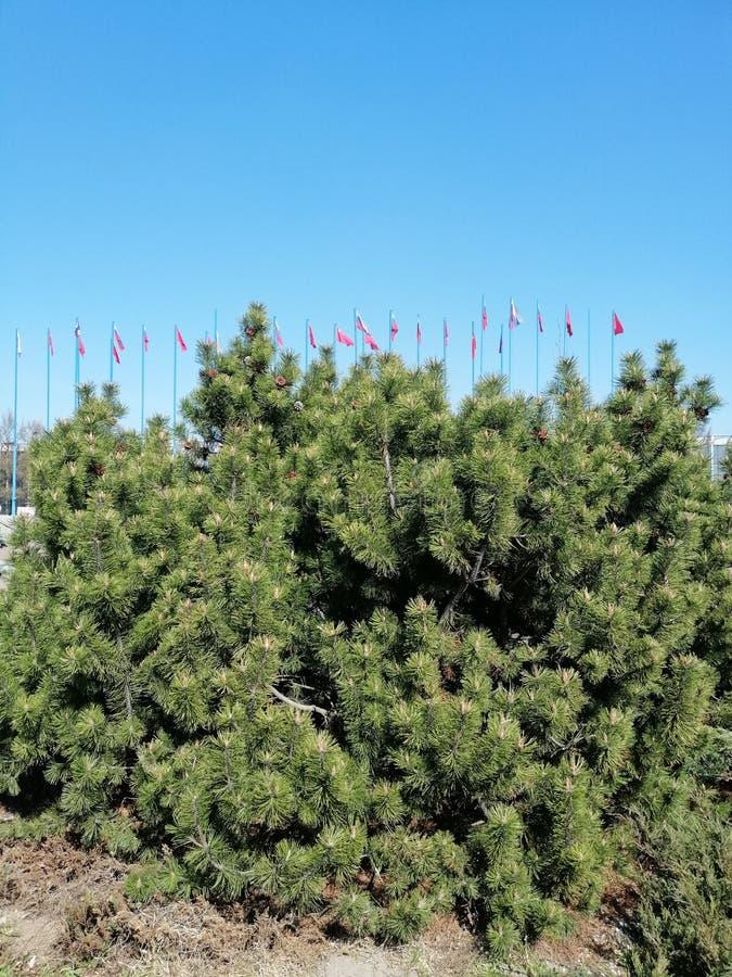 Kiefer auf dem Hintergrund von Flaggen lizenzfreie stockfotografie