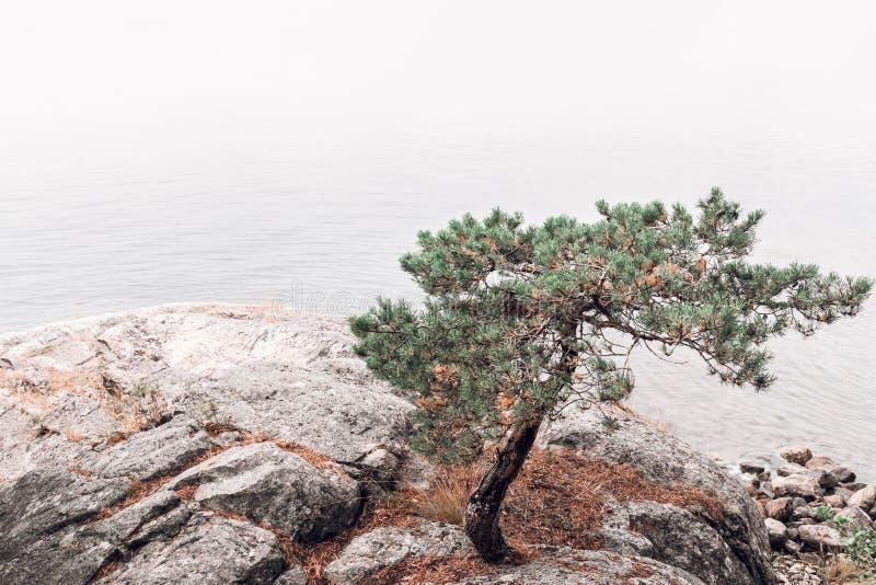 Kiefer auf einem felsigen lakeshore stockfotografie