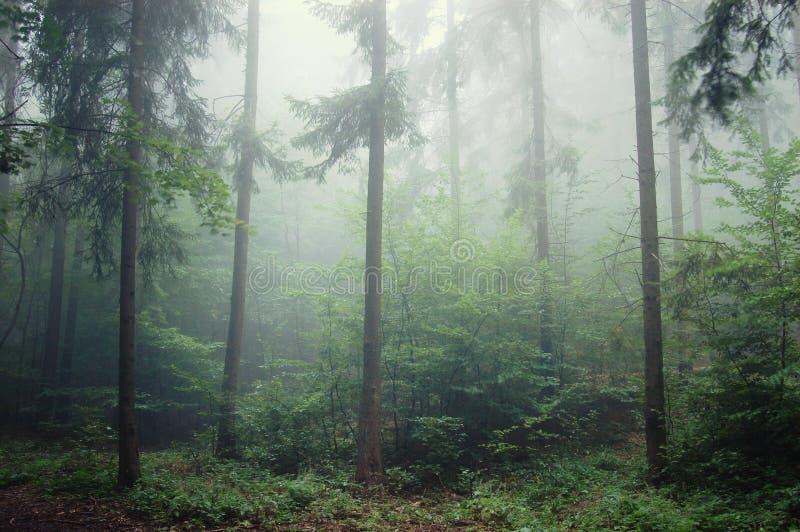 Kiefer-Baum Wald mit Nebel stockfoto