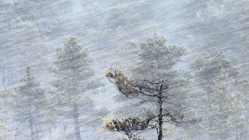 Kiefer in den Schneefällen stockfoto