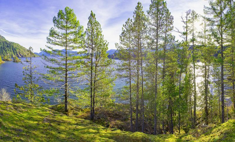 Kiefer, die auf der Küstenlinie von Cowichan-Bucht im Vancouver Island wachsen lizenzfreie stockfotos