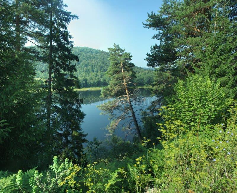 Kiefer, die auf Flusssteigung im Sommer wachsen stockfotografie