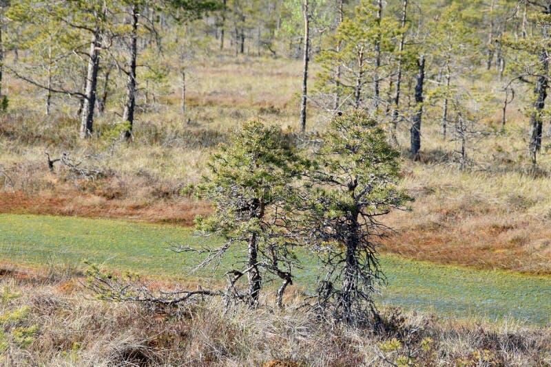 Kiefer, die in einem Sumpf wachsen lizenzfreie stockfotografie