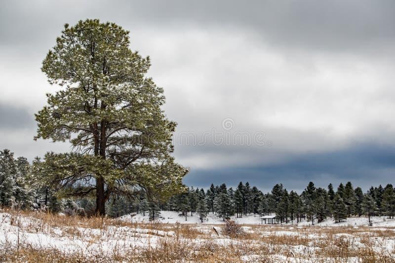 Kiefer in einem Park an einem bewölkten Wintertag stockbild