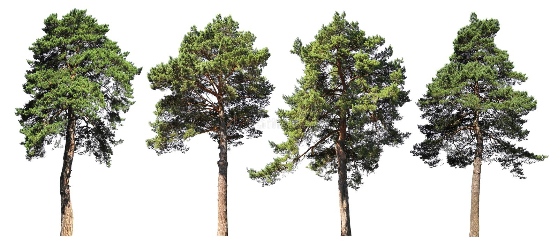 Kiefer, Fichte, Tanne Koniferenwaldsatz lokalisierte Bäume auf weißem Hintergrund stockfotos
