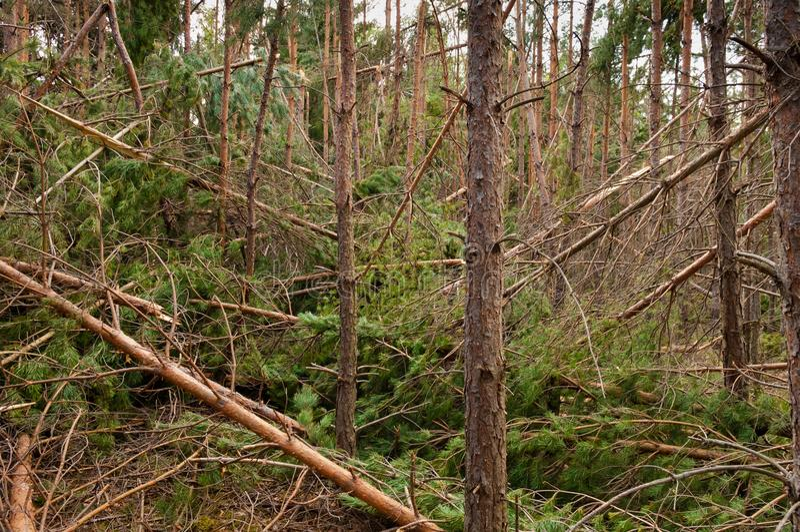 Kiefer frorest zerstört durch Sturm lizenzfreies stockfoto