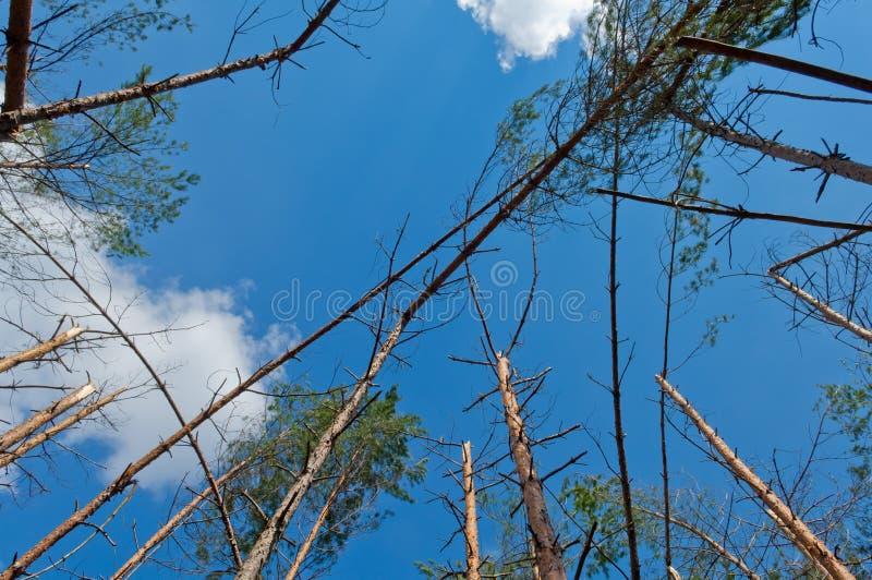 Kiefer frorest zerstört durch Sturm stockfoto